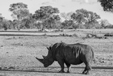 Awesome South Africa Collection B&W - Black Rhinoceros with Oxpecker Photographic Print by Philippe Hugonnard