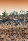 Awesome South Africa Collection - Three Burchell's Zebra walking at Sunset I Photographic Print by Philippe Hugonnard