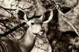 Awesome South Africa Collection B&W - Portrait of Nyala Antelope Photographic Print by Philippe Hugonnard