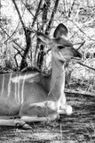 Awesome South Africa Collection B&W - Nyala Antelope II Photographic Print by Philippe Hugonnard