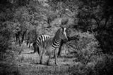 Awesome South Africa Collection B&W - Burchell's Zebra II Photographic Print by Philippe Hugonnard