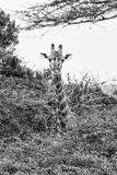 Awesome South Africa Collection B&W - Curious Giraffe II Photographic Print by Philippe Hugonnard
