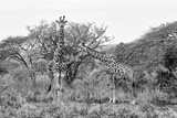 Awesome South Africa Collection B&W - Giraffe Mother and Young Photographic Print by Philippe Hugonnard