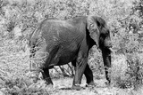 Awesome South Africa Collection B&W - African Elephant II Photographic Print by Philippe Hugonnard