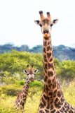 Awesome South Africa Collection - Two Giraffes XII Photographic Print by Philippe Hugonnard