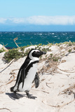 Awesome South Africa Collection - African Penguin at Boulders Beach XIV Photographic Print by Philippe Hugonnard