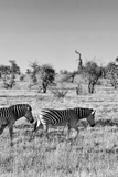 Awesome South Africa Collection B&W - Two Zebras on Savanna Photographic Print by Philippe Hugonnard