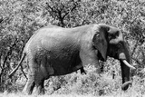 Awesome South Africa Collection B&W - African Elephant Photographic Print by Philippe Hugonnard