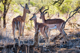 Awesome South Africa Collection - Impala Family Photographic Print by Philippe Hugonnard