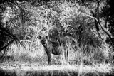 Awesome South Africa Collection B&W - Brown Hyena Photographic Print by Philippe Hugonnard