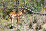 Awesome South Africa Collection - Young Impala Photographic Print by Philippe Hugonnard