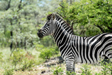 Awesome South Africa Collection - Burchell's Zebra VIII Photographic Print by Philippe Hugonnard