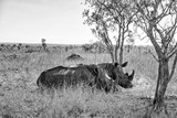 Awesome South Africa Collection B&W - Two White Rhinoceros I Photographic Print by Philippe Hugonnard