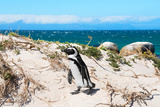 Awesome South Africa Collection - African Penguin at Boulders Beach XIII Photographic Print by Philippe Hugonnard