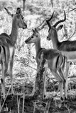 Awesome South Africa Collection B&W - Impalas Family II Photographic Print by Philippe Hugonnard