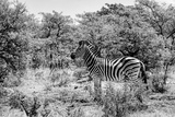 Awesome South Africa Collection B&W - Burchell's Zebra IV Photographic Print by Philippe Hugonnard