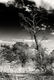 Awesome South Africa Collection B&W - African Landscape with Acacia Tree XIV Photographic Print by Philippe Hugonnard