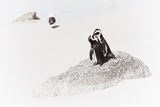 Awesome South Africa Collection - Penguin Lovers II Photographic Print by Philippe Hugonnard