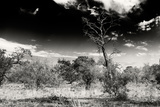 Awesome South Africa Collection B&W - African Landscape with Acacia Tree XIII Photographic Print by Philippe Hugonnard