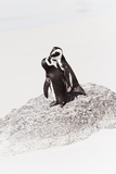 Awesome South Africa Collection - Penguin Lovers IV Photographic Print by Philippe Hugonnard
