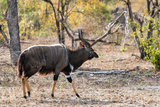 Awesome South Africa Collection - Nyala Male Photographic Print by Philippe Hugonnard