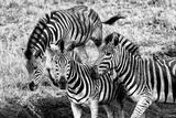 Awesome South Africa Collection B&W - Group of Common Zebras Fotografisk tryk af Philippe Hugonnard