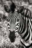 Awesome South Africa Collection B&W - Zebra Portrait Photographic Print by Philippe Hugonnard