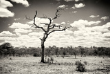 Awesome South Africa Collection B&W - Dead Tree in the African Savannah Photographic Print by Philippe Hugonnard