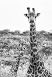 Awesome South Africa Collection B&W - Portrait of Two Giraffes II Photographic Print by Philippe Hugonnard