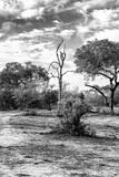 Awesome South Africa Collection B&W - African Landscape with Acacia Tree XII Photographic Print by Philippe Hugonnard