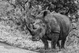Awesome South Africa Collection B&W - Black Rhinoceros with Oxpecker III Photographic Print by Philippe Hugonnard
