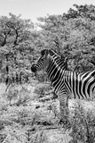 Awesome South Africa Collection B&W - Portrait of Burchell's Zebra Photographic Print by Philippe Hugonnard