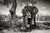 Awesome South Africa Collection B&W - Elephant Photographic Print by Philippe Hugonnard