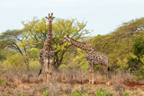 Awesome South Africa Collection - Two Giraffes IV Photographic Print by Philippe Hugonnard