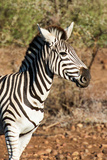Awesome South Africa Collection - Young Burchell's Zebra Portrait Photographic Print by Philippe Hugonnard