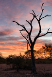 Awesome South Africa Collection - Savanna Tree at Sunrise Photographic Print by Philippe Hugonnard