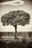 Awesome South Africa Collection B&W - Portrait of an Acacia Tree Photographic Print by Philippe Hugonnard