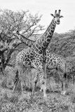 Awesome South Africa Collection B&W - Giraffe Mother and Young III Photographic Print by Philippe Hugonnard