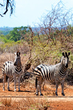 Awesome South Africa Collection - Two Burchell's Zebra on Savanna I Photographic Print by Philippe Hugonnard