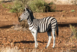 Awesome South Africa Collection - Young Burchell's Zebra Photographic Print by Philippe Hugonnard