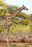 Awesome South Africa Collection - Giraffe IV Photographic Print by Philippe Hugonnard