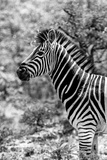Awesome South Africa Collection B&W - Portrait of Burchell's Zebra II Photographic Print by Philippe Hugonnard