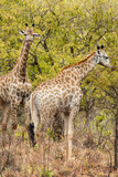 Awesome South Africa Collection - Two Giraffes III Photographic Print by Philippe Hugonnard