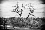 Awesome South Africa Collection B&W - Acacia Tree II Photographic Print by Philippe Hugonnard