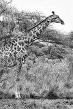 Awesome South Africa Collection B&W - Giraffe in the Savanna II Photographic Print by Philippe Hugonnard