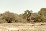 Awesome South Africa Collection - Giraffe in the Savanna II Photographic Print by Philippe Hugonnard