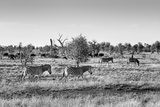 Awesome South Africa Collection B&W - Zebras Herd on Savanna II Photographic Print by Philippe Hugonnard