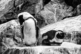 Awesome South Africa Collection B&W - African Penguins Photographic Print by Philippe Hugonnard