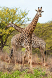 Awesome South Africa Collection - Two Giraffes VII Photographic Print by Philippe Hugonnard