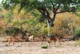 Awesome South Africa Collection - Nyala Females Photographic Print by Philippe Hugonnard